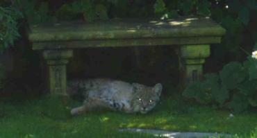 Bobcat11