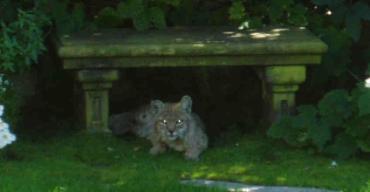 Bobcat12